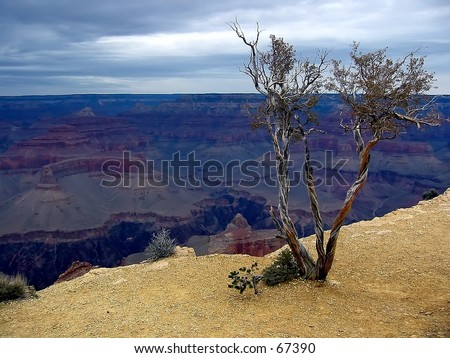 Tree on ledge at the Grand Canyon