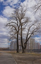tree on the background of high-rise buildings