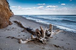 Tree on the sand on the sea beach. The Black sea in Odessa region, Ukraine