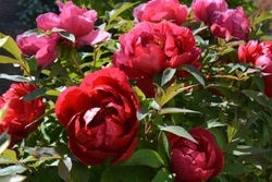 Tree peony, beautiful red flowers in Spring