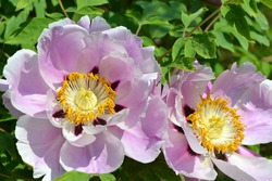 Tree Peony flowers (Paeonia  suffruticosa)