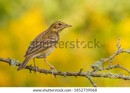 Tree Pipit (Anthus trivialis) on the branch Stock fotó ©