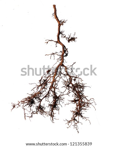 tree root on white background