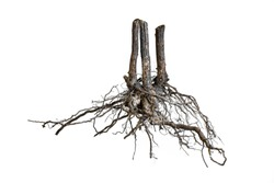 Tree root.Tree stump.Roots of tree isolated on white background.