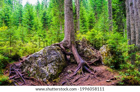 Tree roots in the forest. Forest tree roots. Tree roots