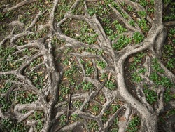 Tree roots on the ground