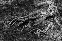 Tree roots that look like a medusa in a black and white picture