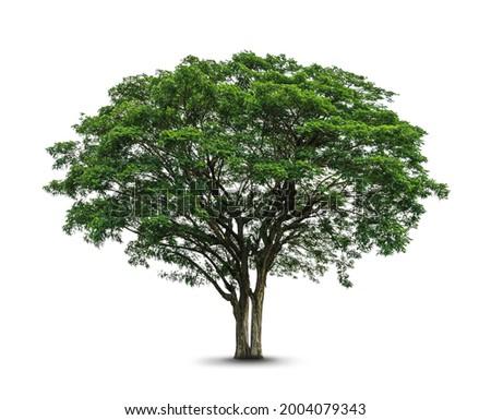 Tree ( samanea saman ) isolated on white background. Tropical exotic tree Stok fotoğraf ©