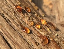 Tree Sap Liquid That Comes Out from Tree