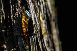 Tree sap oozing out of a trunk, with the back light lighting up the orange tree sap drop.