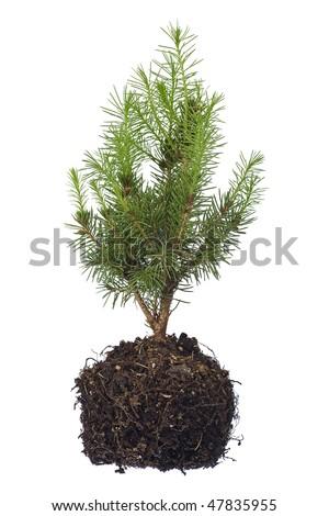 tree seedling isolated on white