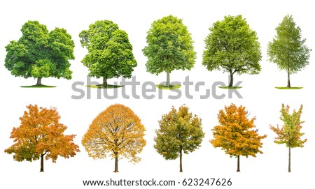 Tree set collection isolated on white background. Oak, maple, linden, birch. Green and yellow leaves #623247626