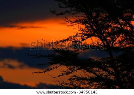 Tree shade and dramatic sunset. Africa. Kenya. Masai Mara.