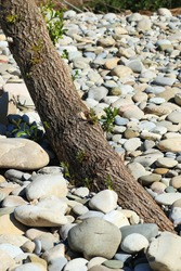 Tree, Silver willow,  surrounded by stones in a dry riverbed. Trunk growing out of the stones, without visible soil.