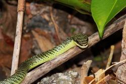 tree snake, chrysopelea, southasia, thailand