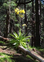 Tree sow-thistle (Sonchus congestus), a Tenerife endemic species, flowering on a rock face in montane laurel forest, Anaga Rural Park,Tenerife