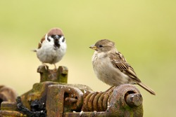 Tree sparrow male and female