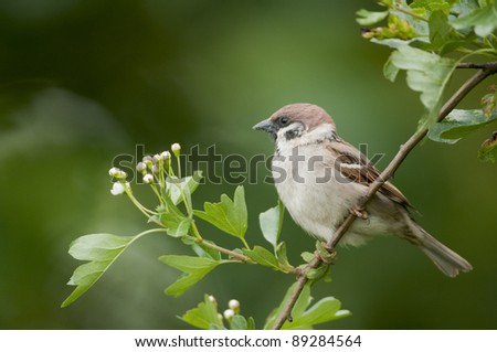 Tree sparrow (Passer montanus) perched on a hawthorn branch