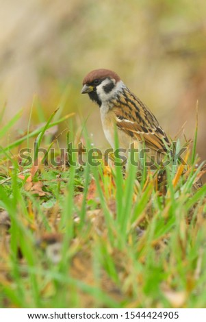 Tree Sparrow Passer montanus  resting in dewy grass. Misty morning. Sparrows are among the most familiar of all wild birds. They are primarily seed-eaters, though they also consume small insects. #1544424905