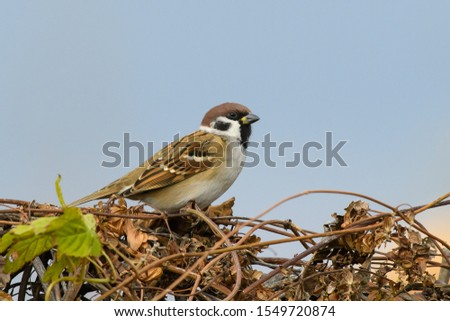 Tree Sparrow Passer montanus sitting on a hedge of climbing vine.  Sparrows are among the most familiar of all wild birds. They are primarily seed-eaters, though they also consume small insects. #1549720874