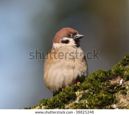 Tree Sparrow Passer montanus sitting on a mossy tree