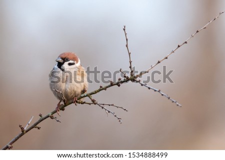 Tree Sparrow Passer montanus sitting on a twig at dusk. Sparrows are among the most familiar of all wild birds. They are primarily seed-eaters, though they also consume small insects. #1534888499