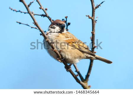 Tree Sparrow Passer montanus sitting on a twig. Sparrows are among the most familiar of all wild birds. They are primarily seed-eaters, though they also consume small insects. #1468345664