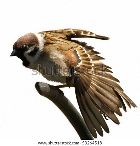 Tree Sparrow stretched wing isolated on white background Passer montanus