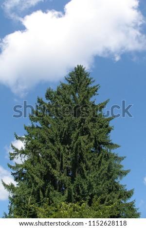 tree spruce on sky background