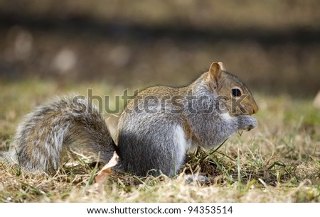 Tree squirrel on the grass that looks like it is biting its nails
