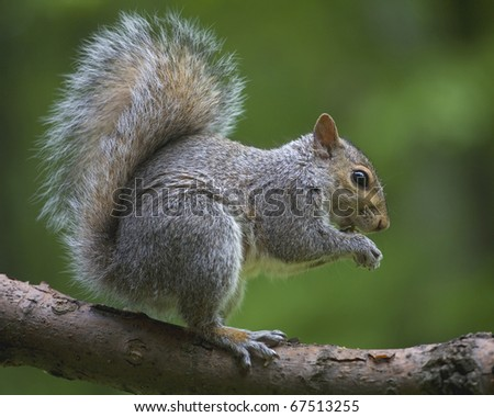 Tree squirrel out on a branch that has found sunflower seeds #67513255