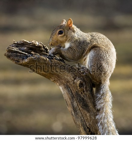 Tree squirrel with a long tail on top of a deadfall