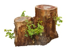 Tree stump and green leaf isolated on white