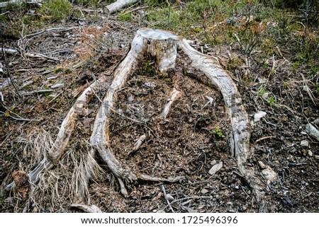 Tree stump, forest calamity, Kohut hill, Stolica mountains, Slovak republic Zdjęcia stock ©
