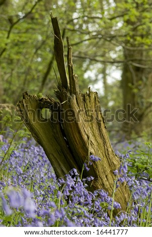 Tree Stump in Bluebell Wood