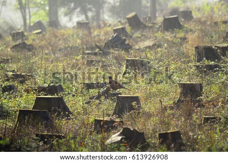 Tree stumps in a clear-cut forest field with wild pheasant in East Devon, England