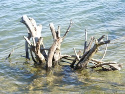 Tree Stumps in the Lake