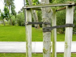 Tree Supports-young trees being supported by wooden stakes. Trees with three stakes for support. Young tree sapling propped and supported by the wooden slats and tied by tape stringon.