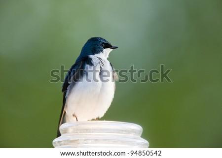 Tree Swallow Close up in Saskatchewan Canada - stock photo