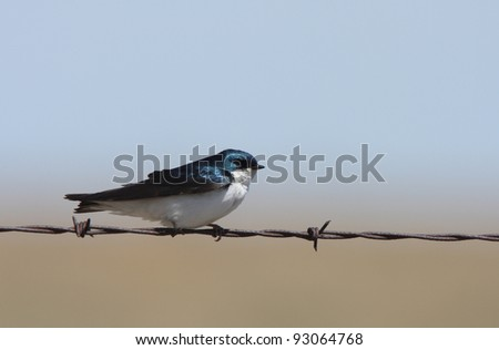 Tree Swallow perched on barbed wire strand