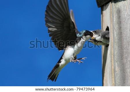 Tree Swallow (tachycineta bicolor) feeding hungry babies