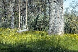 Tree Swing Hanging From Large Oak & Yellow Flowers -  California Foothills