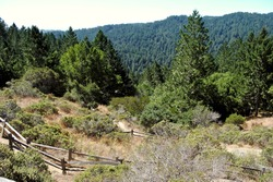 Tree-top view of Muir Woods from Panoramic Highway and Muir Woods Panoramic Trail near Mill Valley, California north of San Francisco. This route twists up and over the slopes of Mt. Tamalpais.