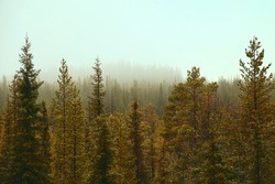 Tree tops. Coniferous northern frost-hardy forest near and in a hazy perspective. View over forests. Misty sun. Siberian spruce (Picea obovata) prevail. Forest science, forestry