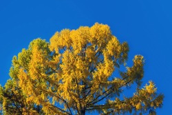 Tree tops of autumnal forest. Close up of trees. yellow the tops of the trees in the fall