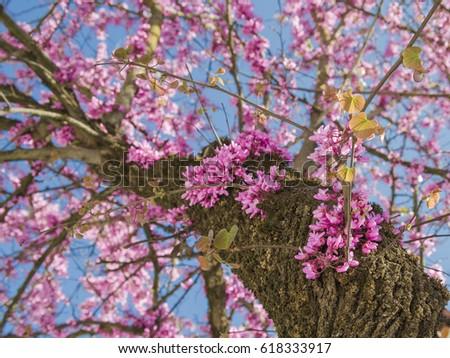Tree trunk and flowers on redbud tree ez canvas tree trunk and flowers on redbud tree mightylinksfo