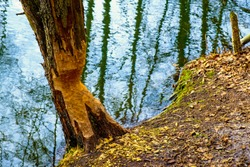 Tree trunk freshly undercut by Eurasian beavers - latin Castor fiber - in mixed European forest thicket and wetlands at the Czarna river nature reserve in Mazovia region of Poland in early spring