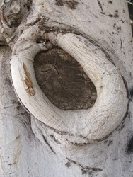 Tree trunk knot. Close up of knot hole in a tree trunk. Tree trunk texture with knot.