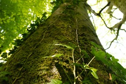 Tree trunk with Green Ivy leaves on. View from below