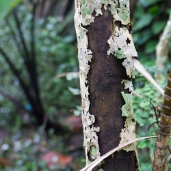 Tree trunk with peeled bark and makes a beautiful texture